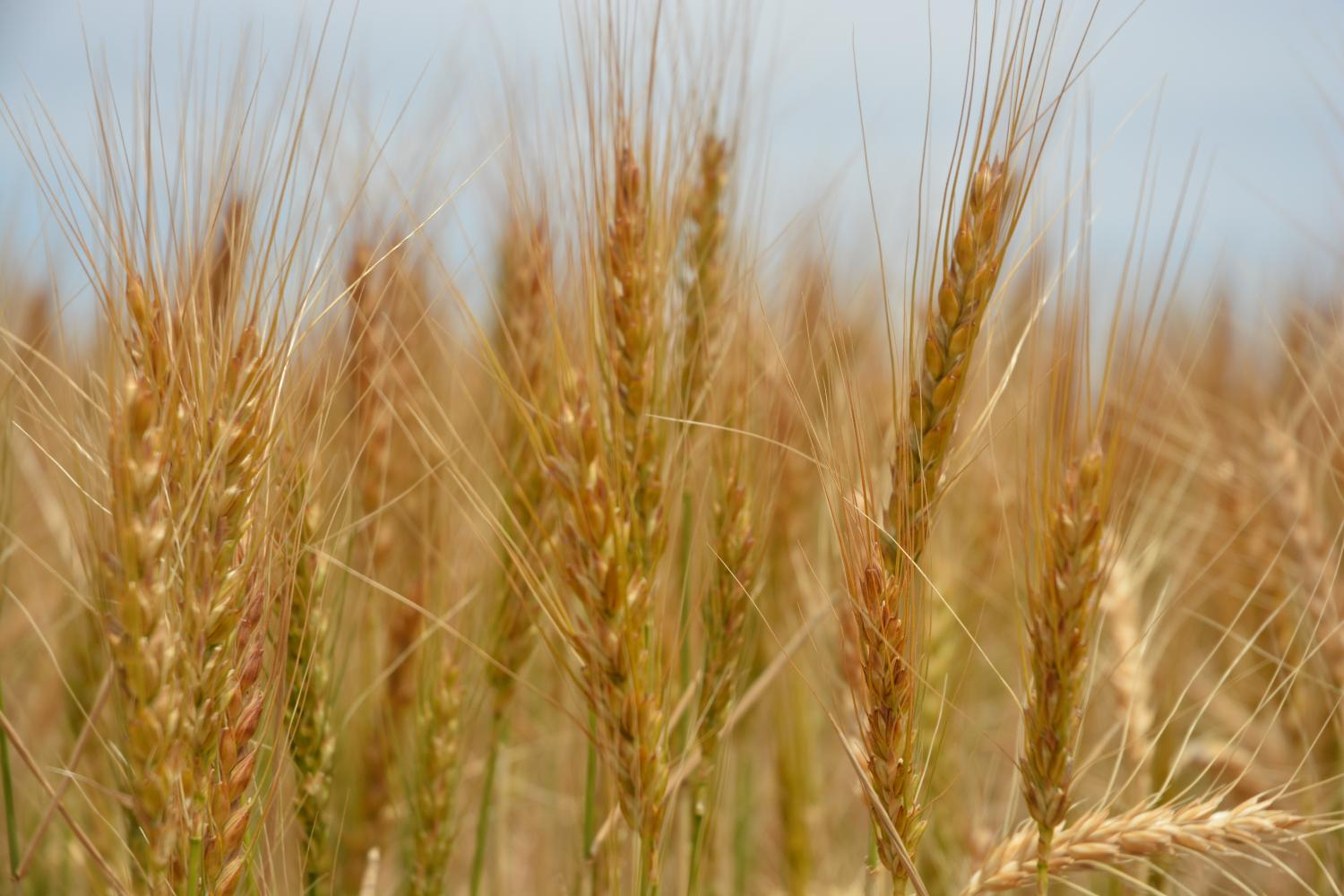 thesis on wheat crop Average once every four years in uk wheat crops, when it reduces the yield and bread making quality of grain lodging usually occurs in the summer and control is most commonly sought by applying growth retarding chemicals in the spring this thesis develops a method of predicting which crops are.
