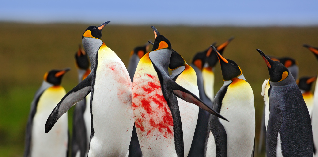 penguin animal fight behaviour contest meme five shutterstock credit bloodshed template understanding steps easy imgflip caption