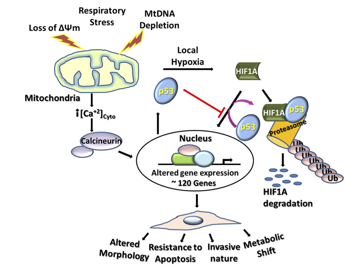 Team Finds Mitochondrial Stress Induces Cancer Related