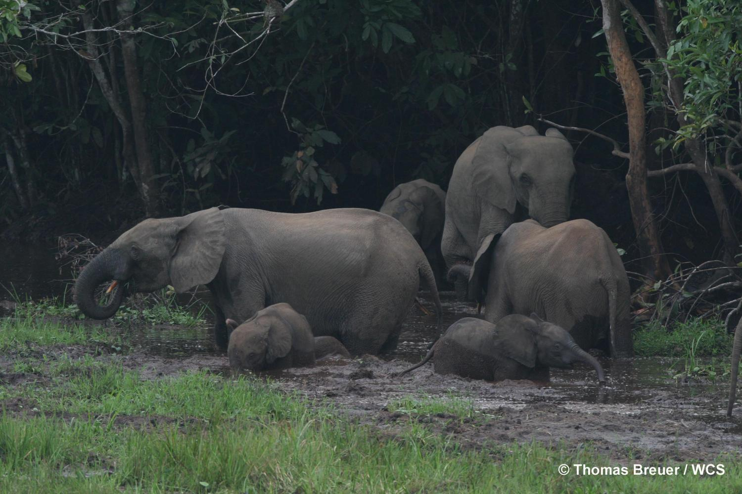 poaching of old forest elephant matriarchs threatens rainforests