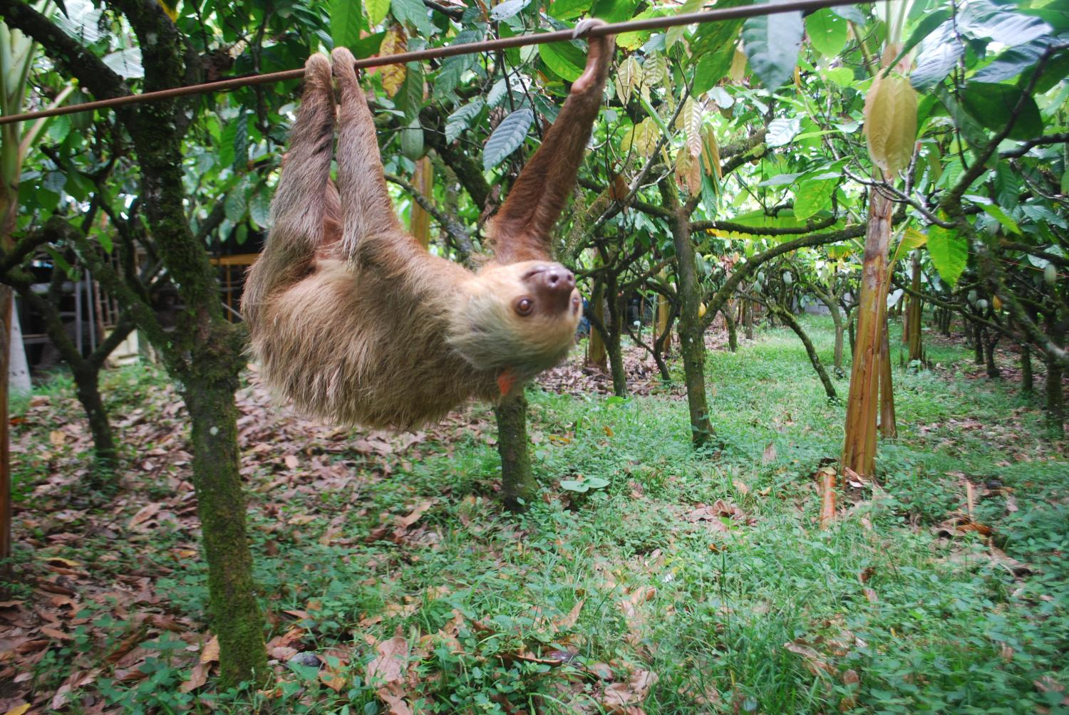 putting the sloth in sloths arboreal lifestyle drives slow motion pace