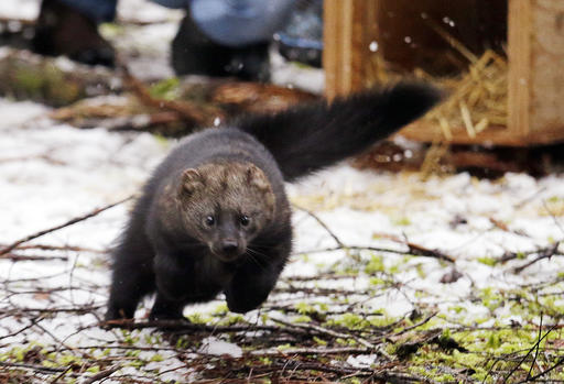 Rare Weasel Species Makes A Comeback In Washington State
