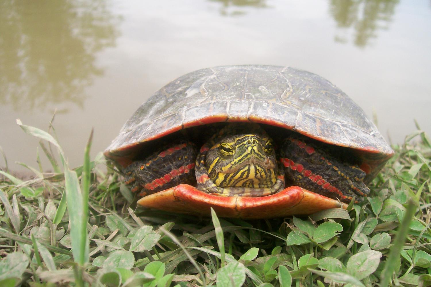 Red Gene In Birds And Turtles Suggests Dinosaurs Had