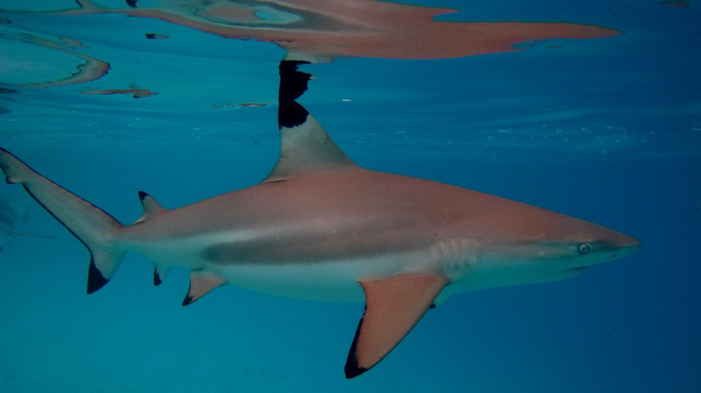 Reef sharks prefer bite-size meals