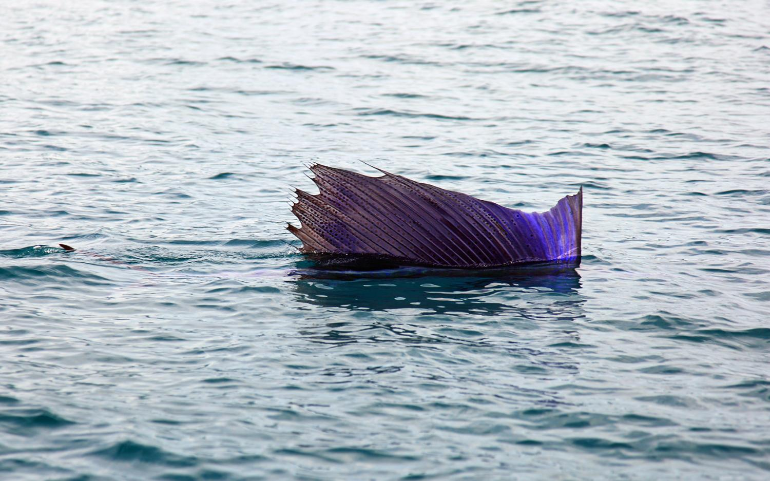 sailfish found to use group hunting technique to capture more sardines