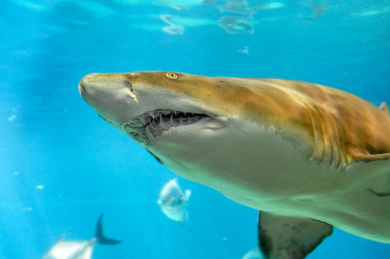 Shark mako, or blue-gray shark: description. Herring Sharks 9