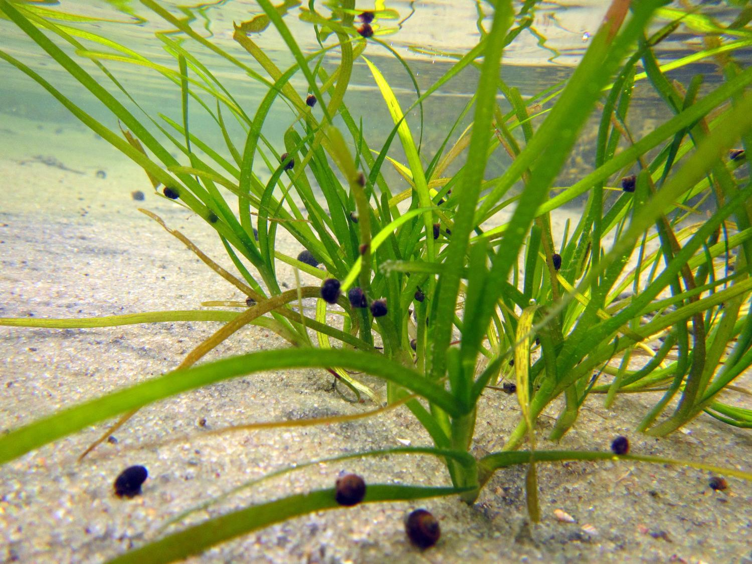 seagrass restoration threatened by fungi