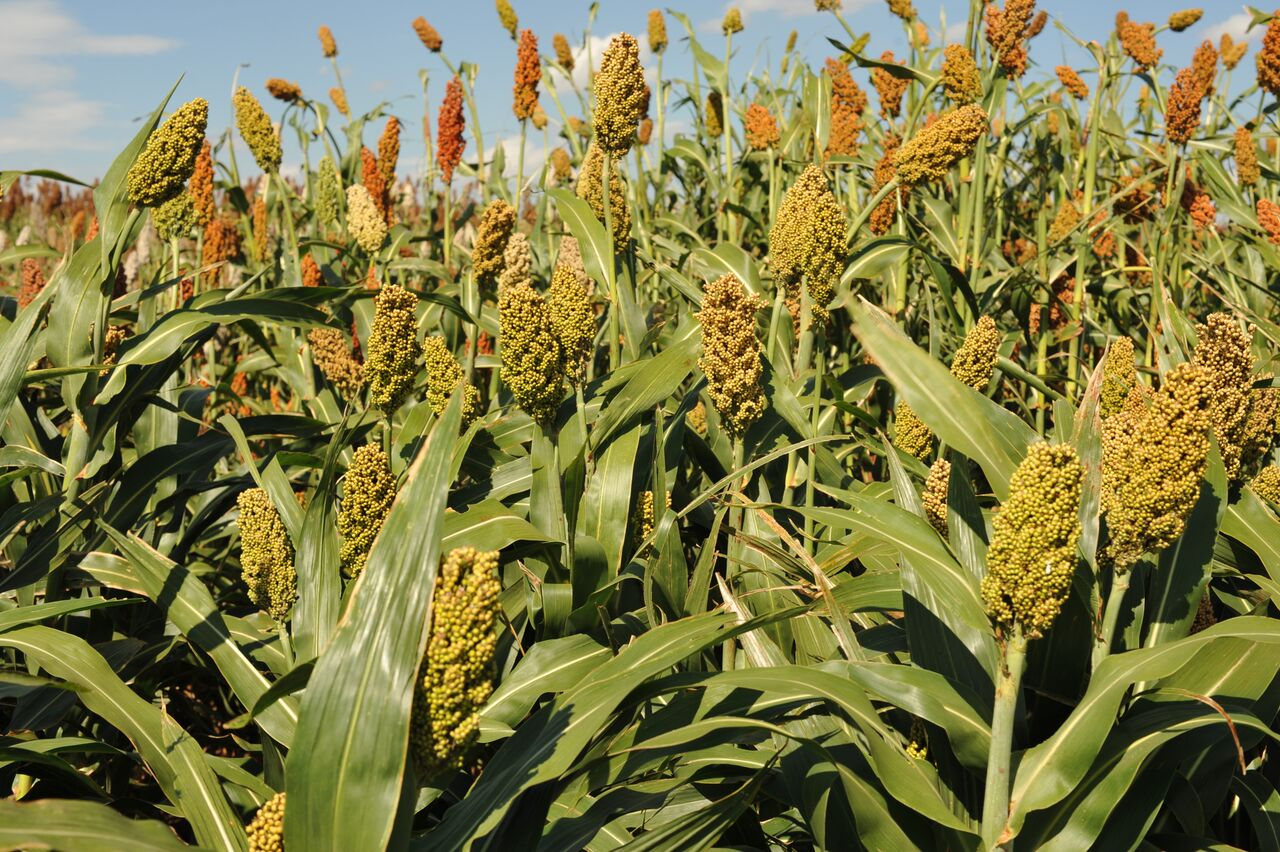 Newly Released Sorghum Types Offer Biodiversity Crop Improvement