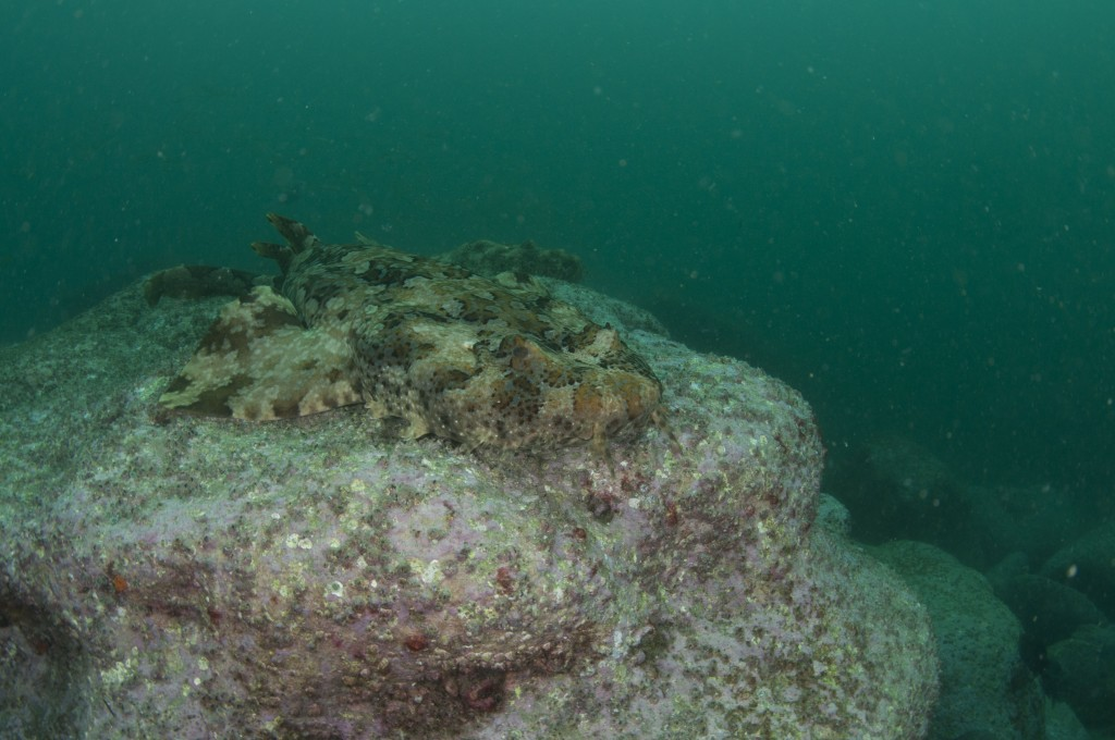 Spotted Wobbegong Sharks Demonstrate Social Clique Behaviour
