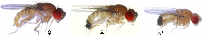 Study Illuminates War Between The Sexes Fruit Fly Edition-1498