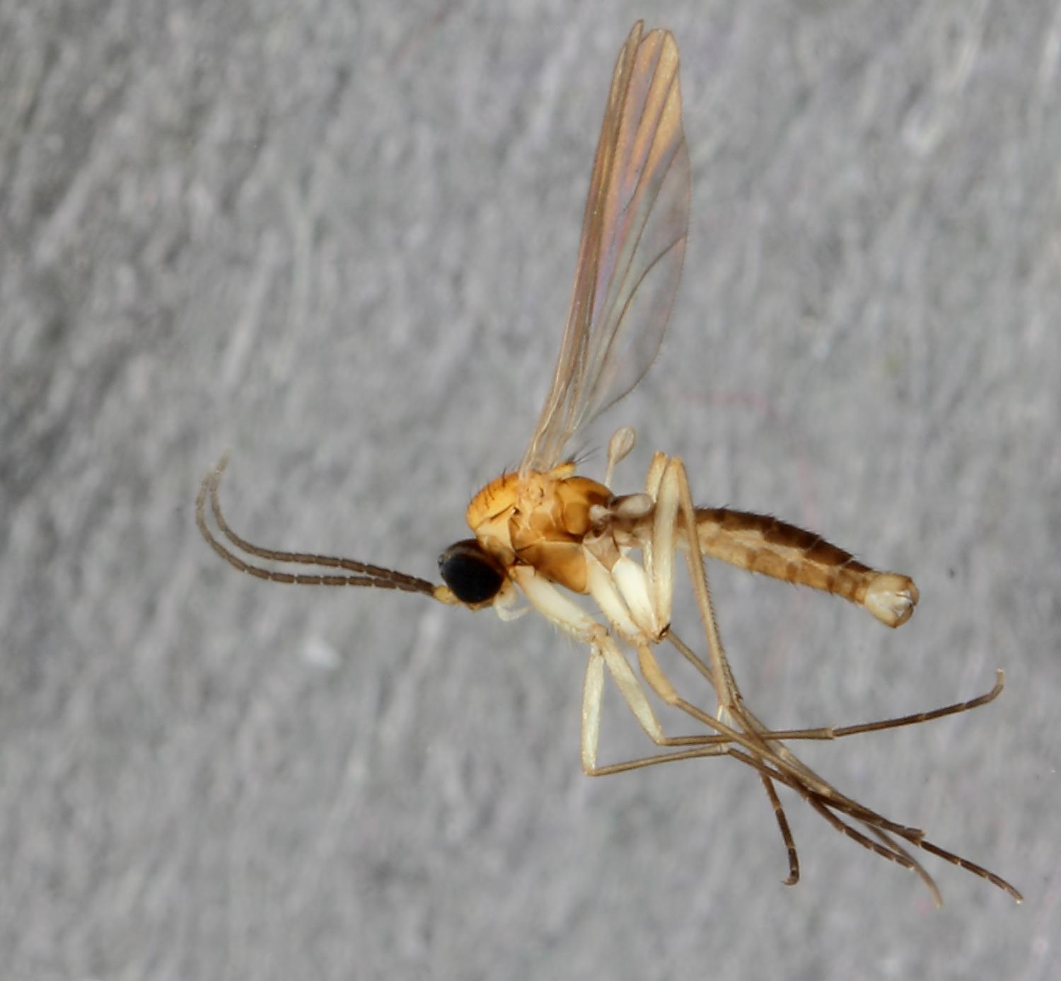 exotic flies in the backyard new gnat species from museum