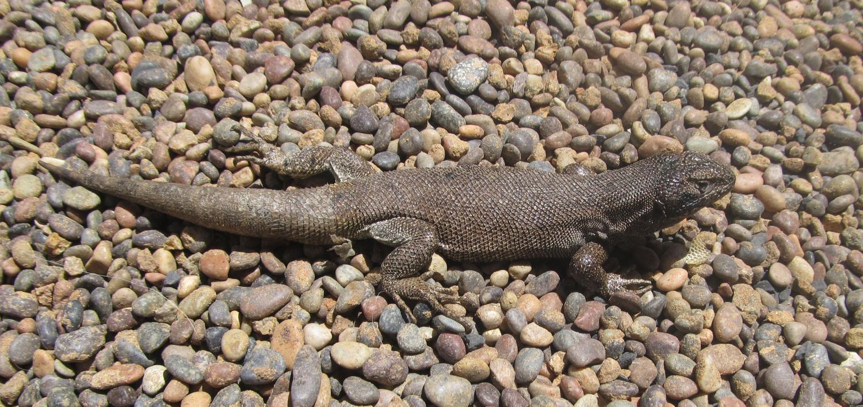 lizard of consistency new iguana species which sticks to its