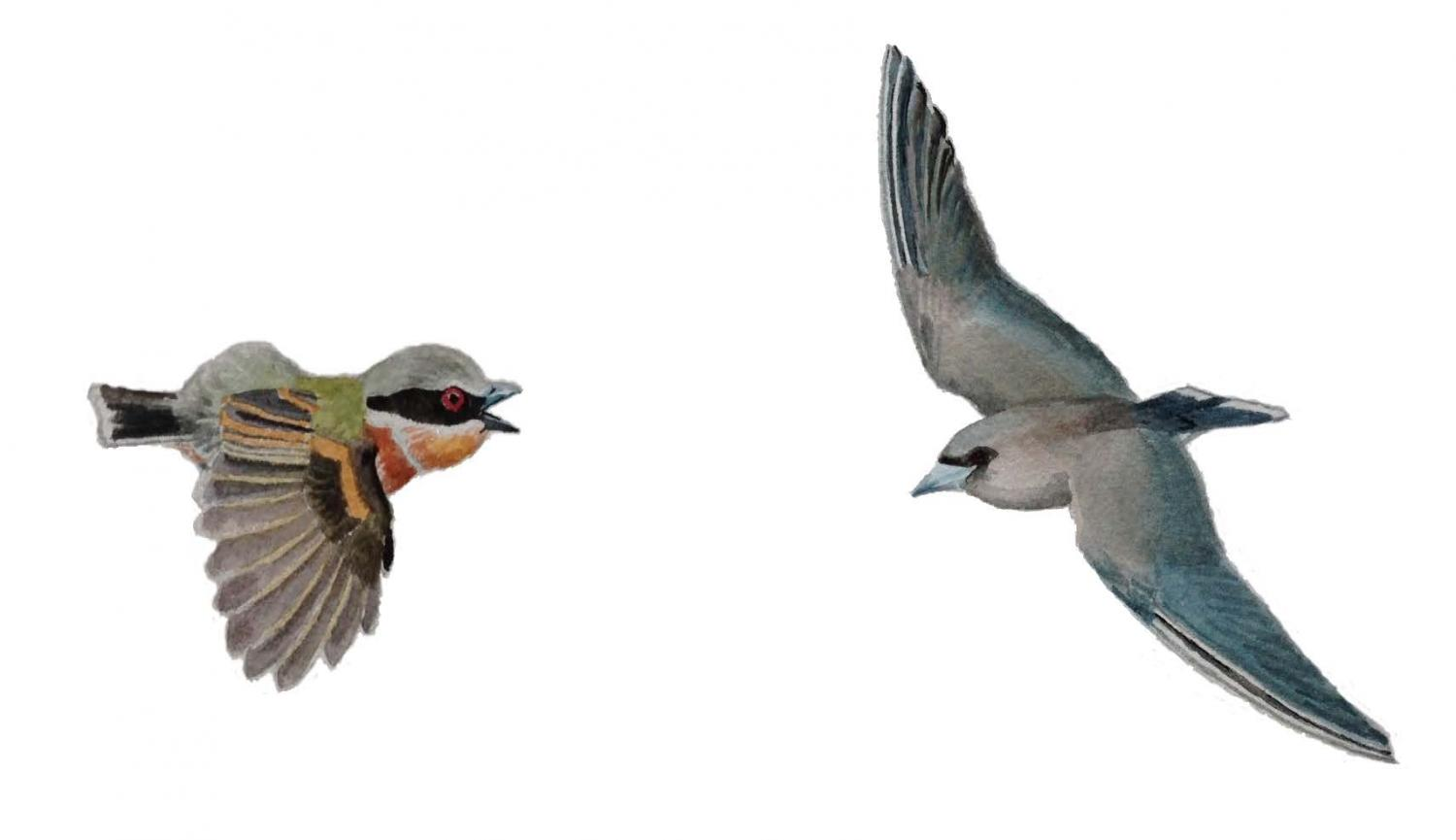 Scientists have found birds that can fly continuously for 10 months 28