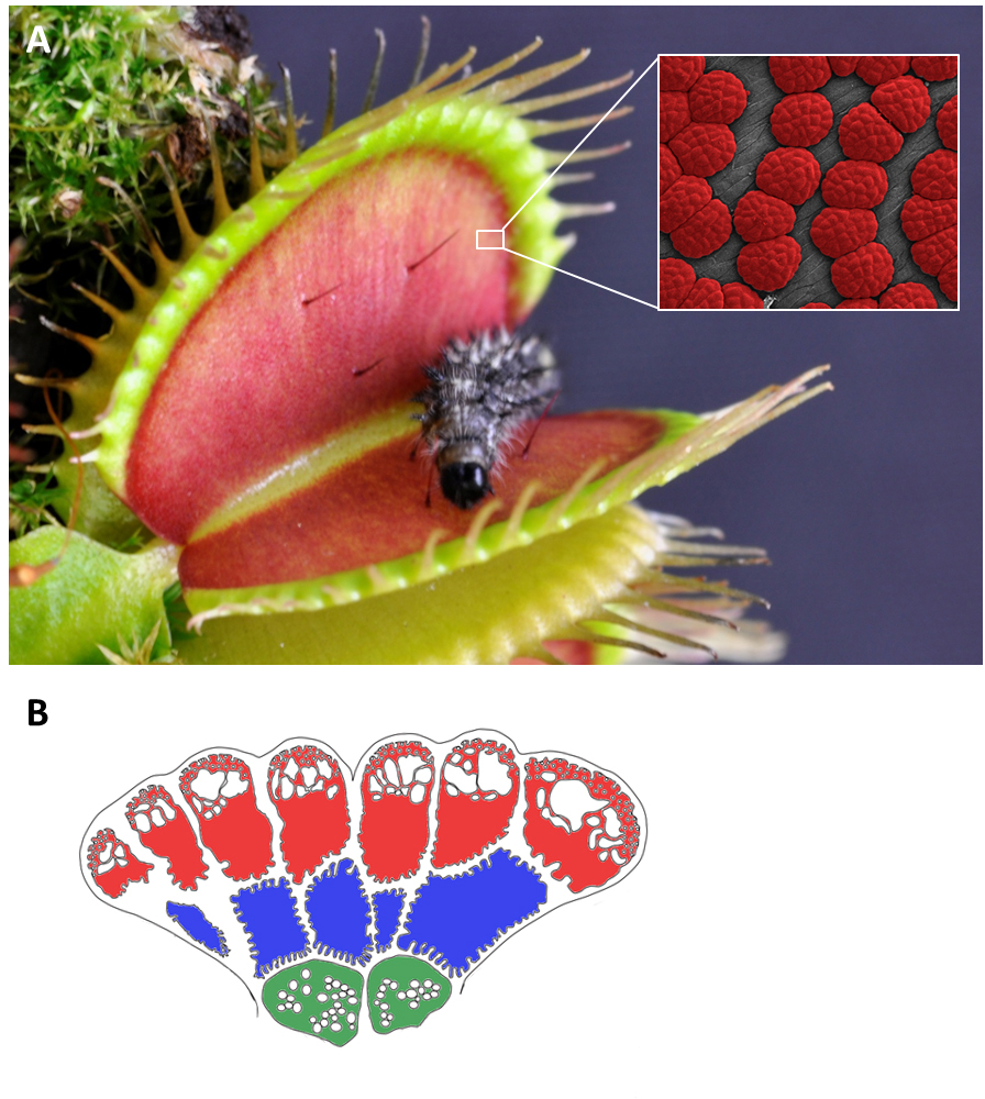 venus cellular Electrical signaling and rapid closure of the carnivorous plant dionaea muscipula ellis (venus flytrap) have been attracting the attention of researchers since xix century, but the exact mechanism of venus flytrap closure is still unknown we found that the electrical stimulus between a midrib and a.