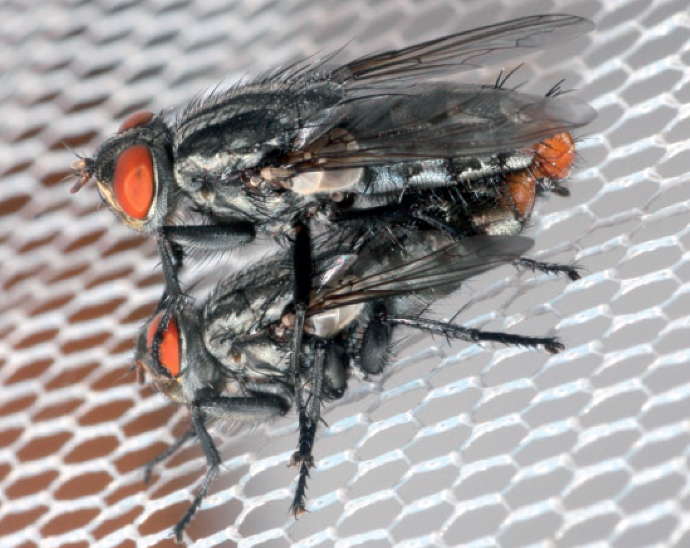 To these flies, cicada sounds are like love songs