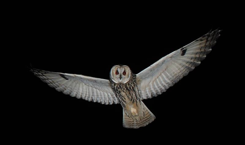 Image of: Crepuscular Physorg Traffic Noise Reduces Wild Owls Foraging Efficiency