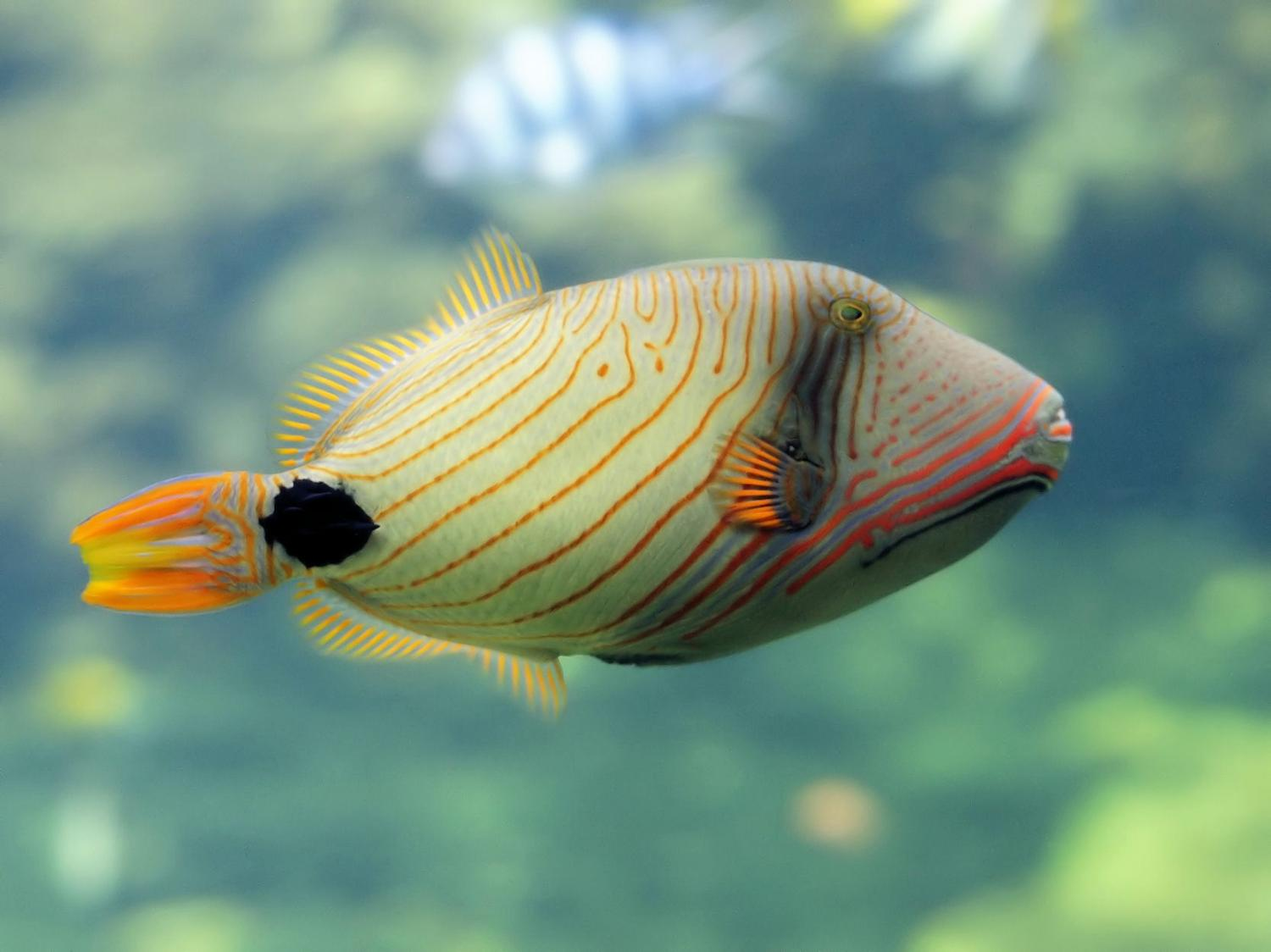 Triggerfish needed to grow reefs, new research finds