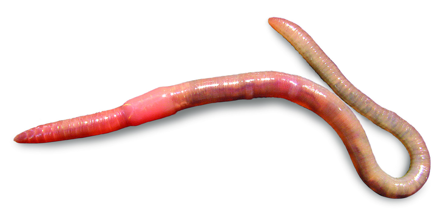 unfamiliar bloodline new family for an earthworm genus with