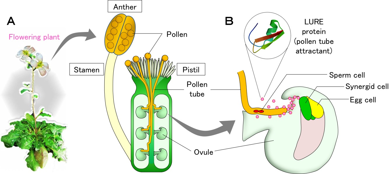 The unknown receptors and mechanism for fertilization in plants unraveling the unknown receptors and mechanism for fertilization in plants pooptronica