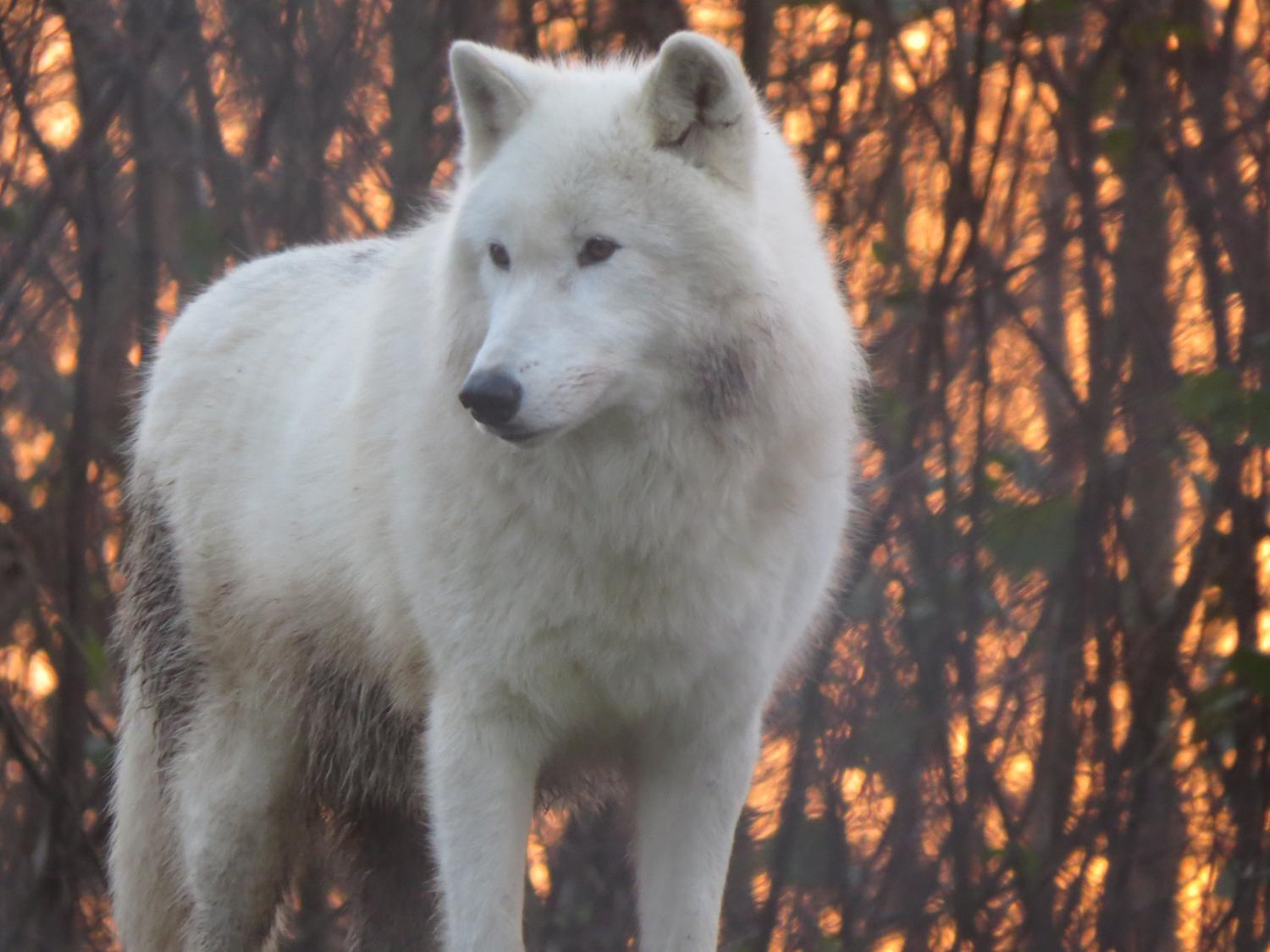 Wolf Species Have Howling Dialects