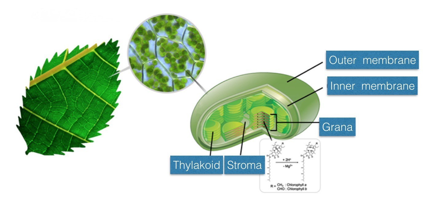 Accelerated chlorophyll reaction in microdroplets to ... Photosynthesis Chlorophyll