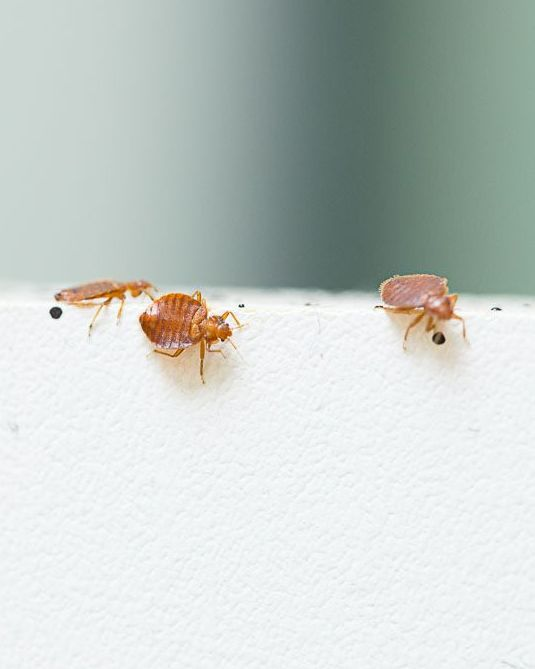 How To Defeat Bed Bugs