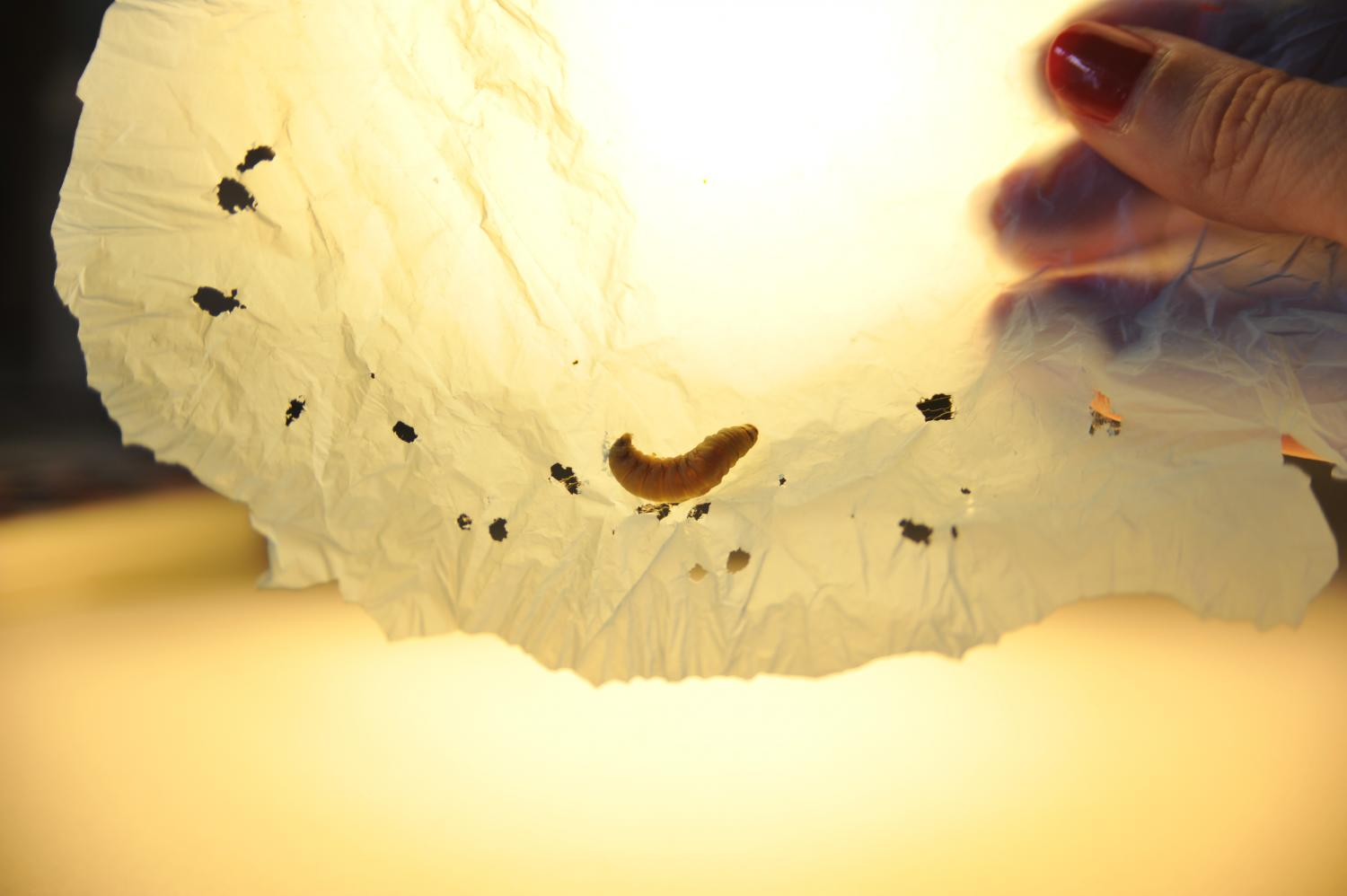 Icky wax worms could offer solution biodegrading plastic bags