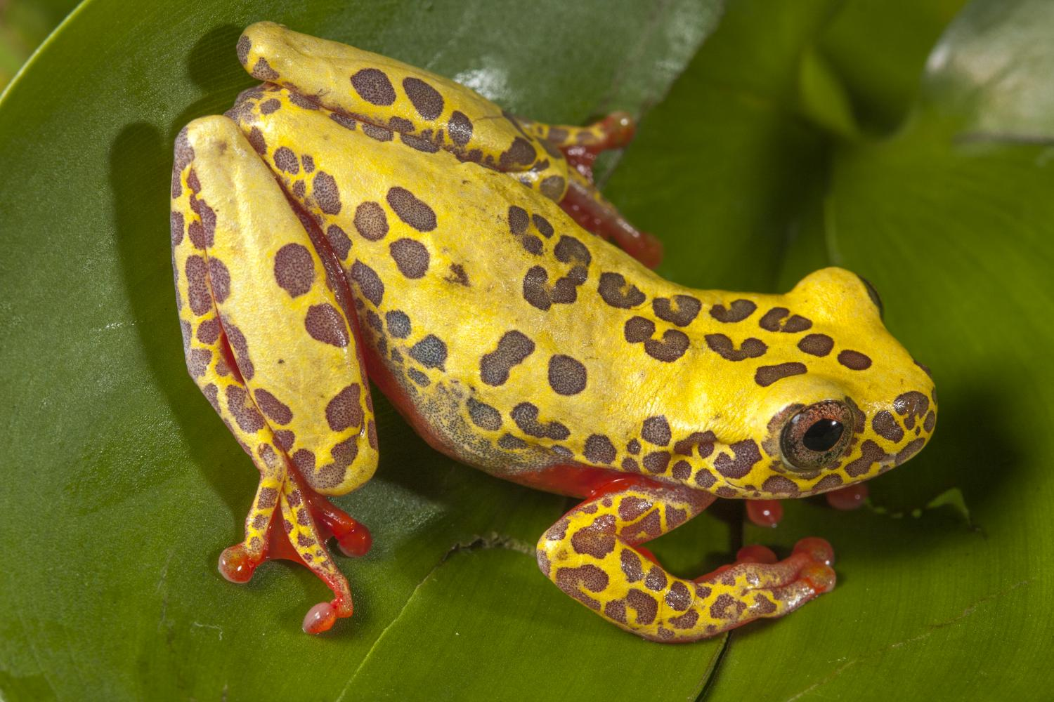 tree frogs—newly discovered and already threatened?