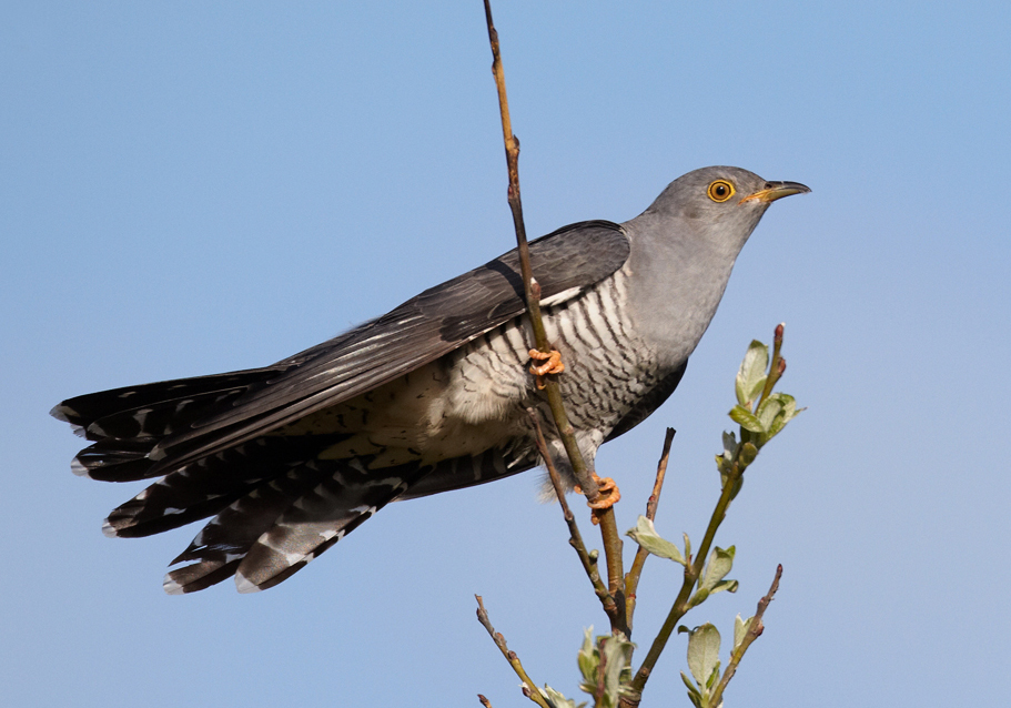 scientists expose true extent of cuckoo s cunning