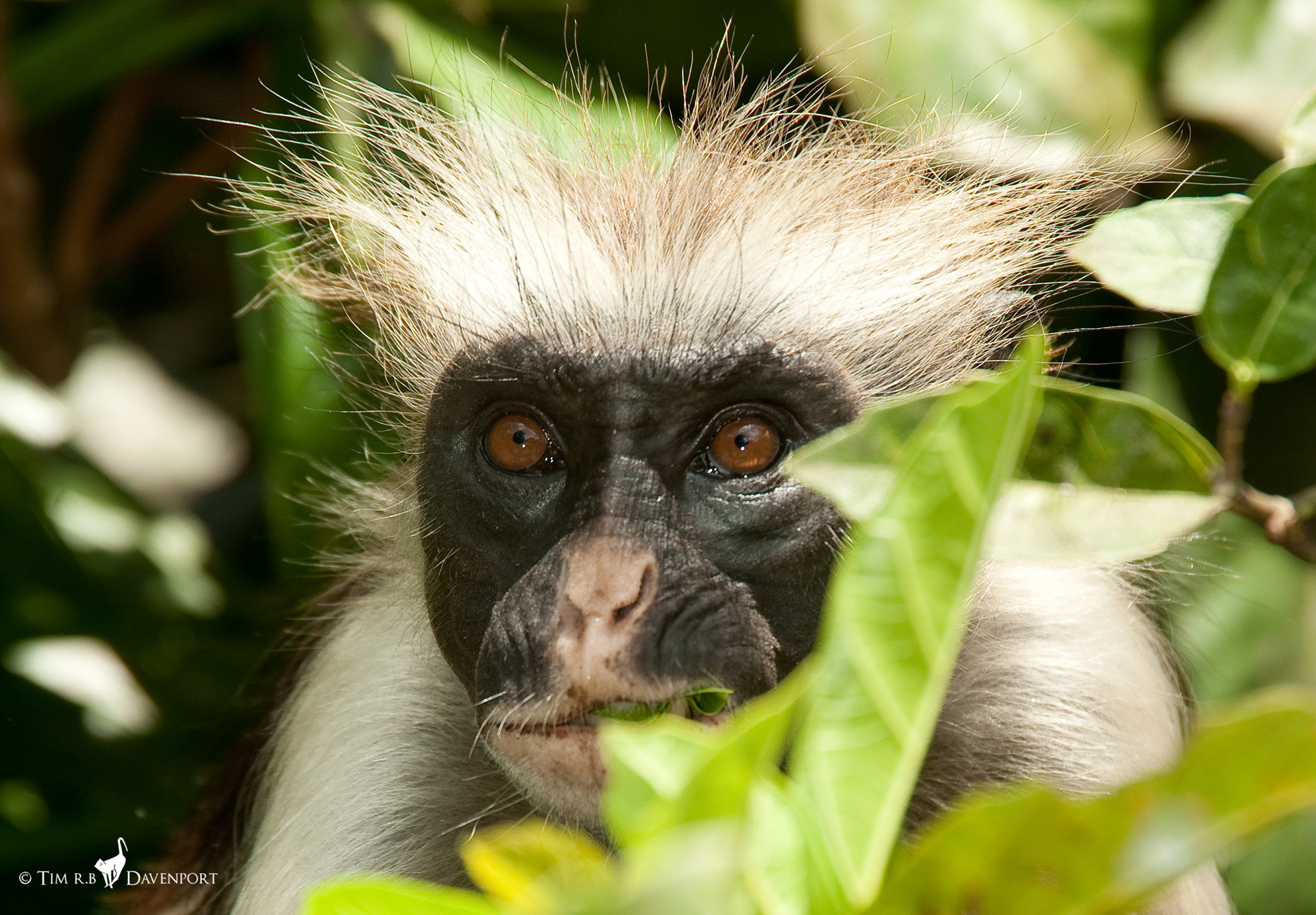 hope for one of the world s rarest primates first census of