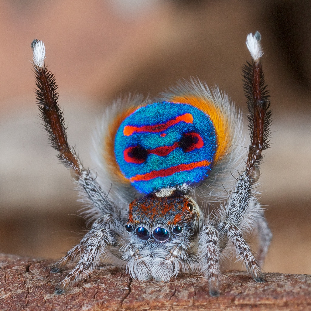 Image result for colorful poisonous spider