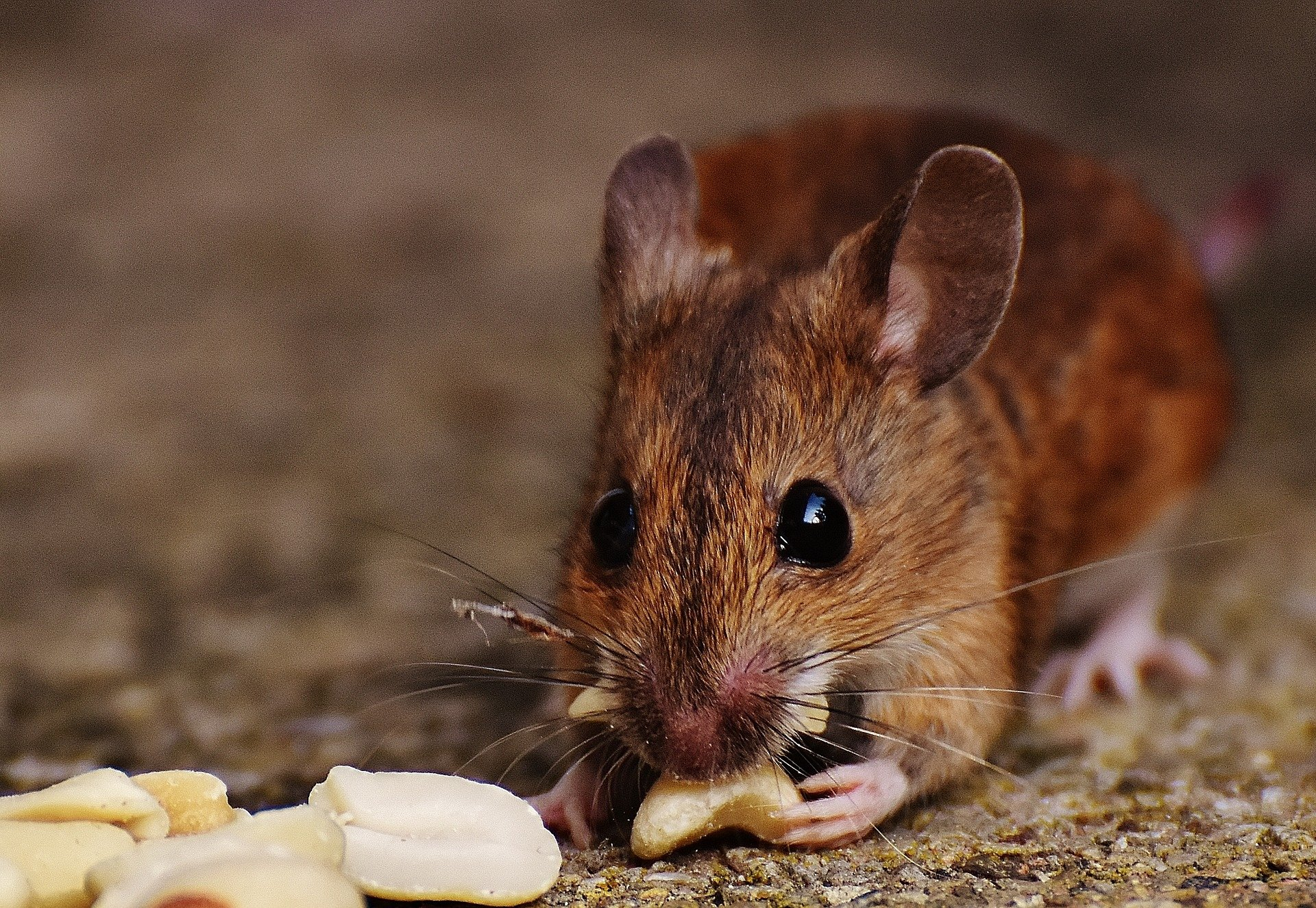 In Mice A Single Vaccine Prompts The Immune System To