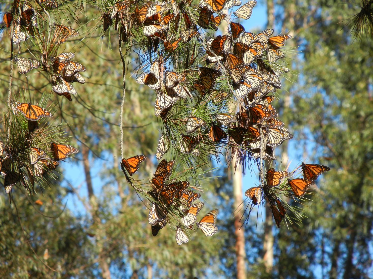 butterflies disappearing from western north america
