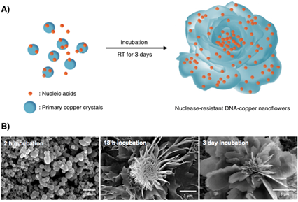 Tvorba DNA nanokvětů. Kredit: KAIST.