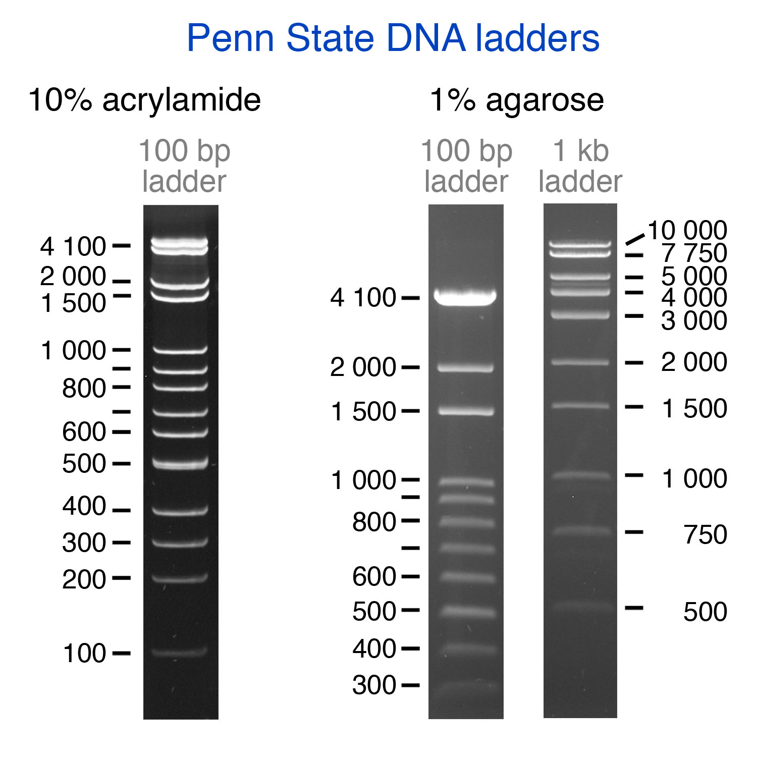 Dna Ladders Inexpensive Molecular Rulers For Dna Research