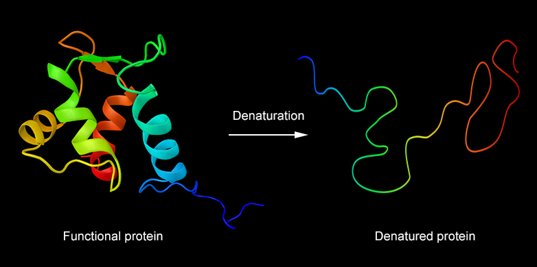 at high temperatures proteins denature and thereby lose their structure credit fotoliaibreakstock