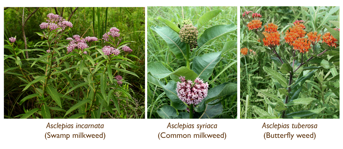 milkweed report We prepared the full report and history for milkweedorg across the most popular social networks milkweed has a poor activity level in stumbleupon with only 305 shares.