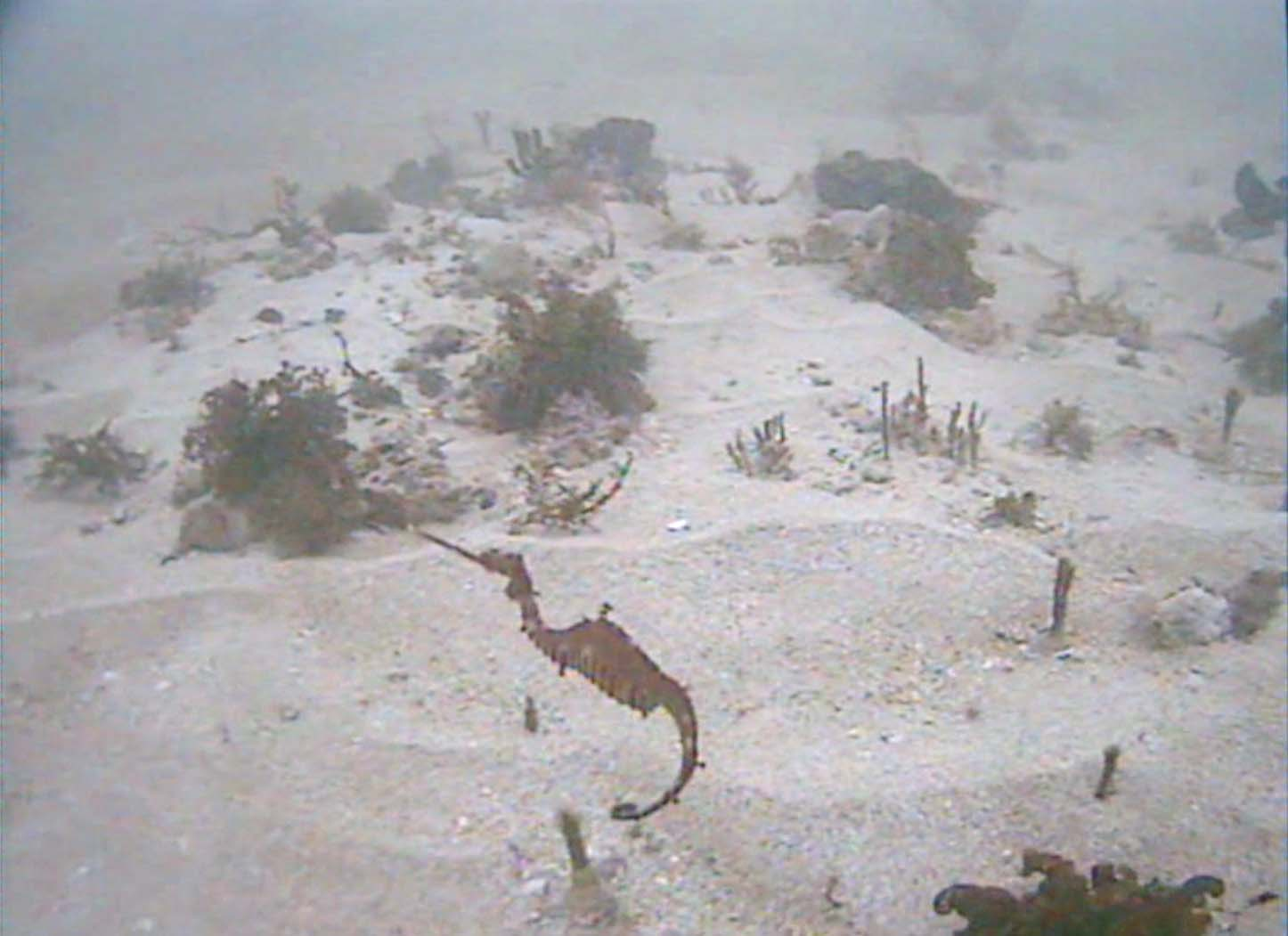 Red seadragon caught on camera in the wild for first time