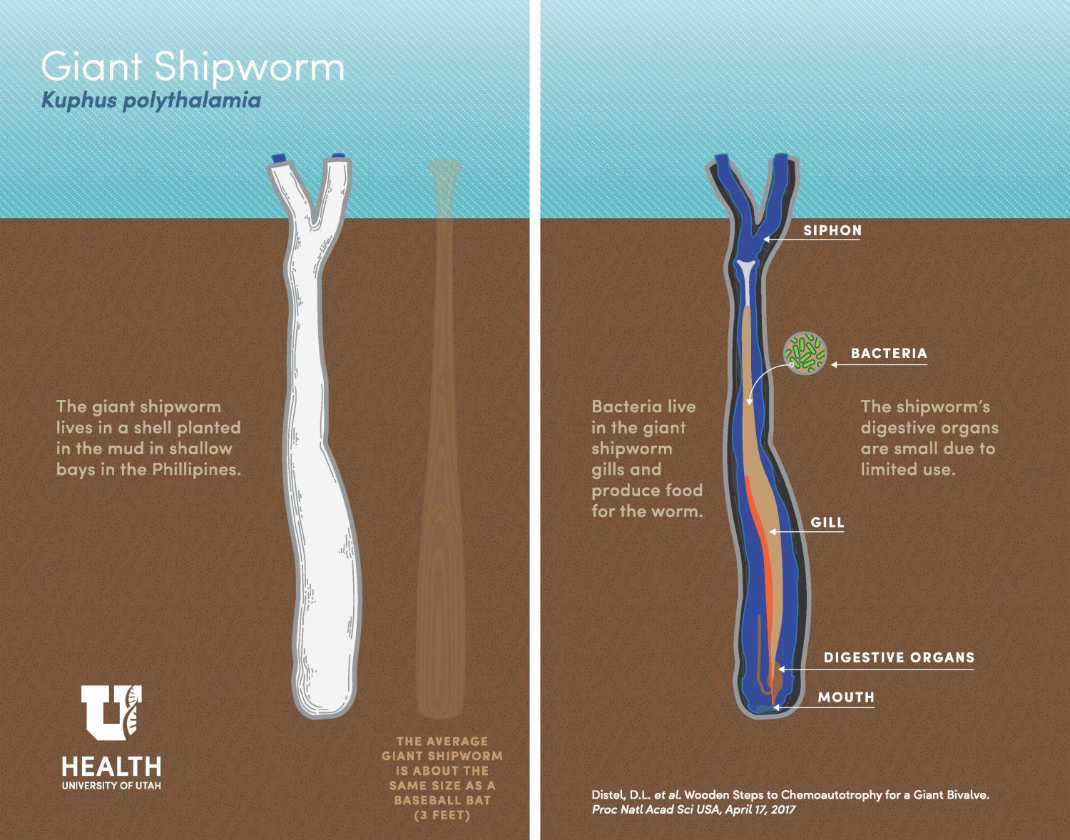 First live specimens of alien-like giant shipworm found in Phillipines