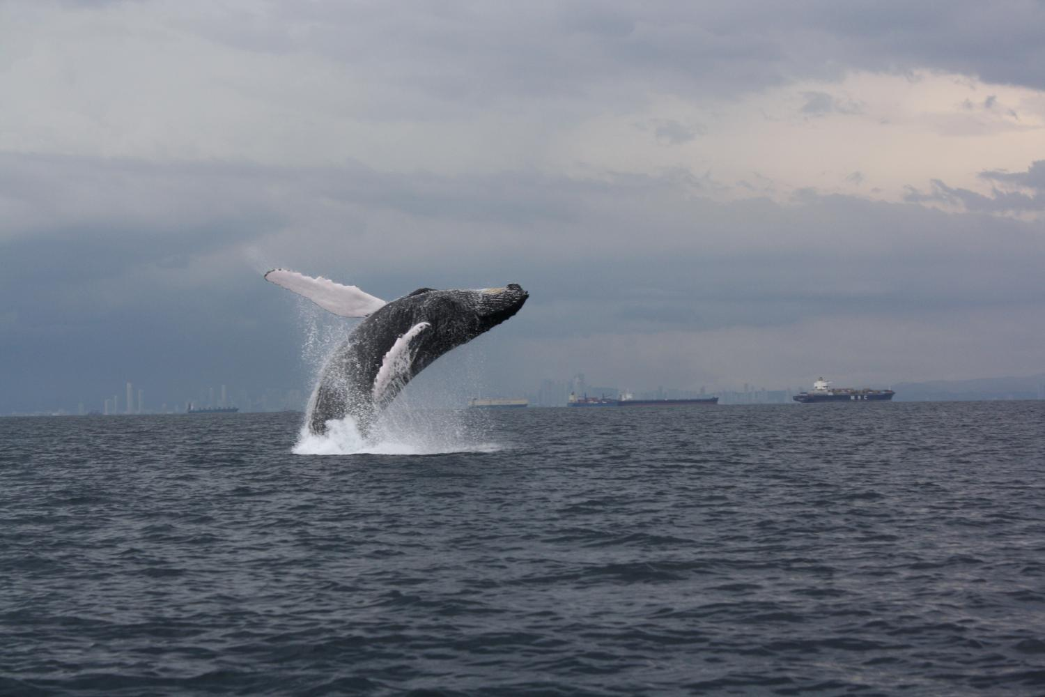 a study of the humpback whale Movements of satellite-monitored humpback whales from  distribution, humpback whale, megaptera novaeangliae, migration,  a recent study by garrigue et al (in.