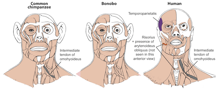 study finds bonobos may be better representation of the last common
