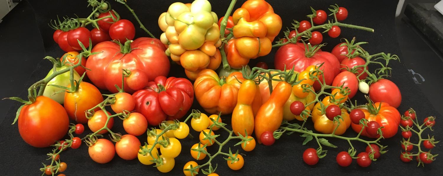 Sugar giant - tomato of new breeding