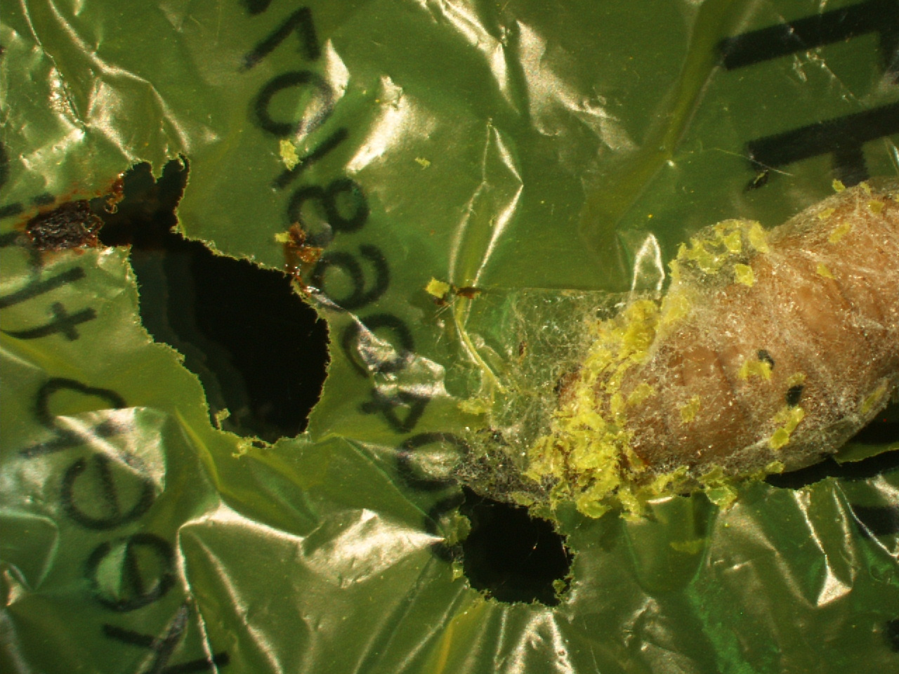 Caterpillar found to eat shopping bags suggesting biodegradable solution to plastic pollution