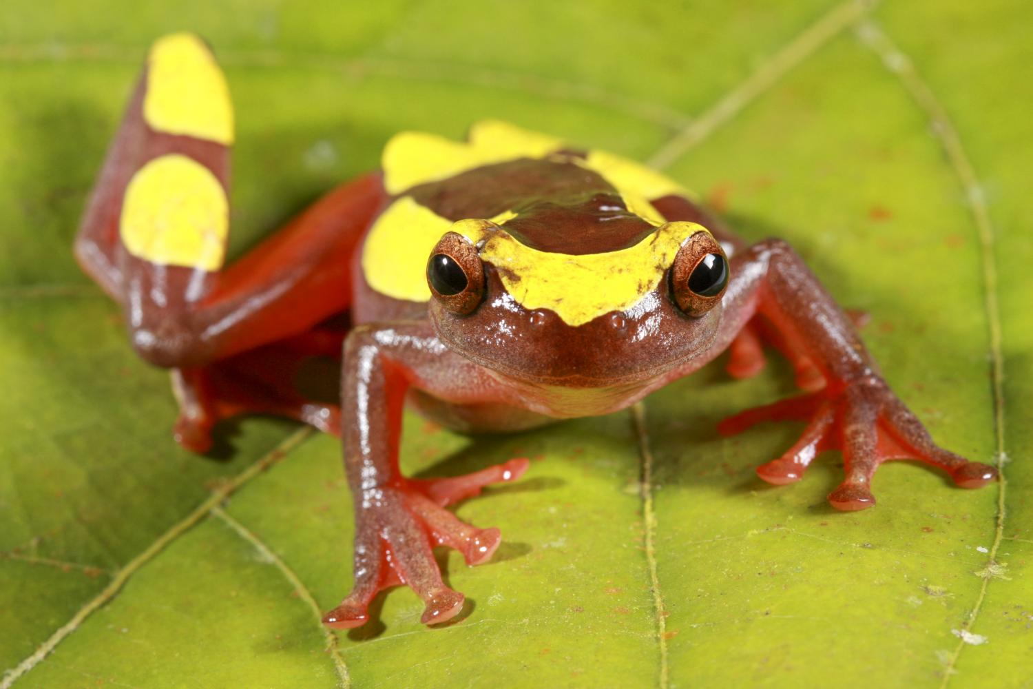 clown tree frogs newly discovered and already threatened