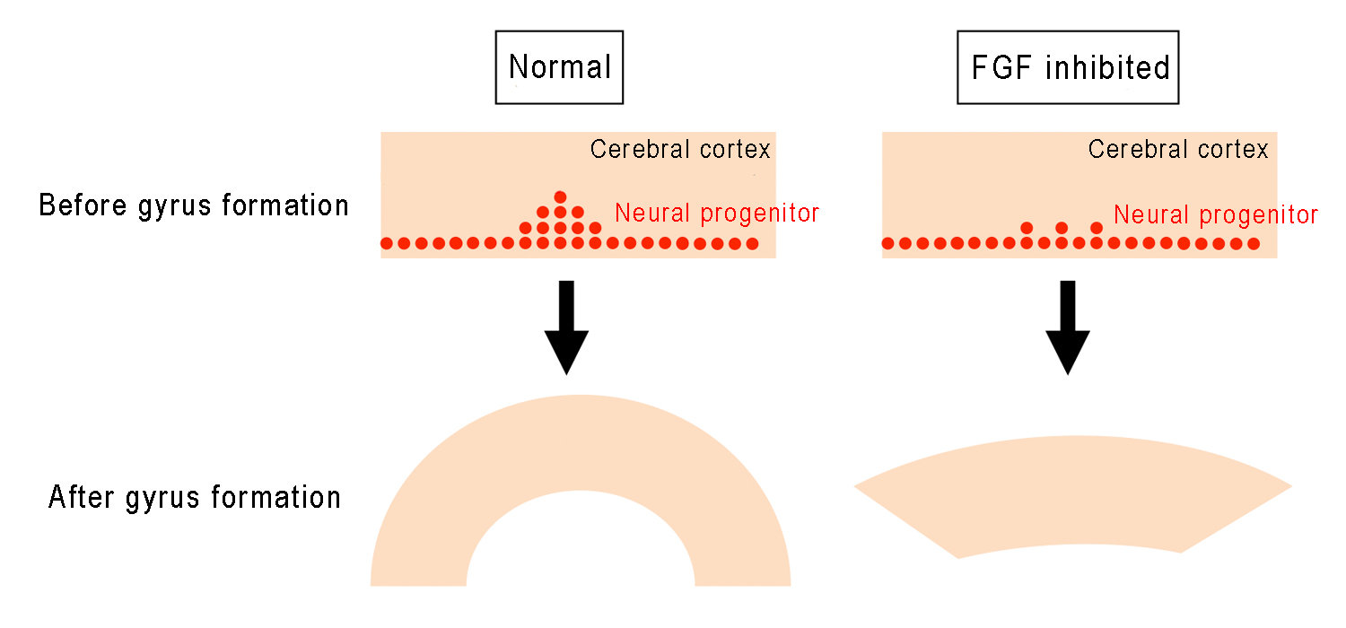 Fold formation of the cerebral cortex requires fgf signaling in the fold formation of the cerebral cortex requires fgf signaling in the mammalian brain schematic illustration ccuart Images