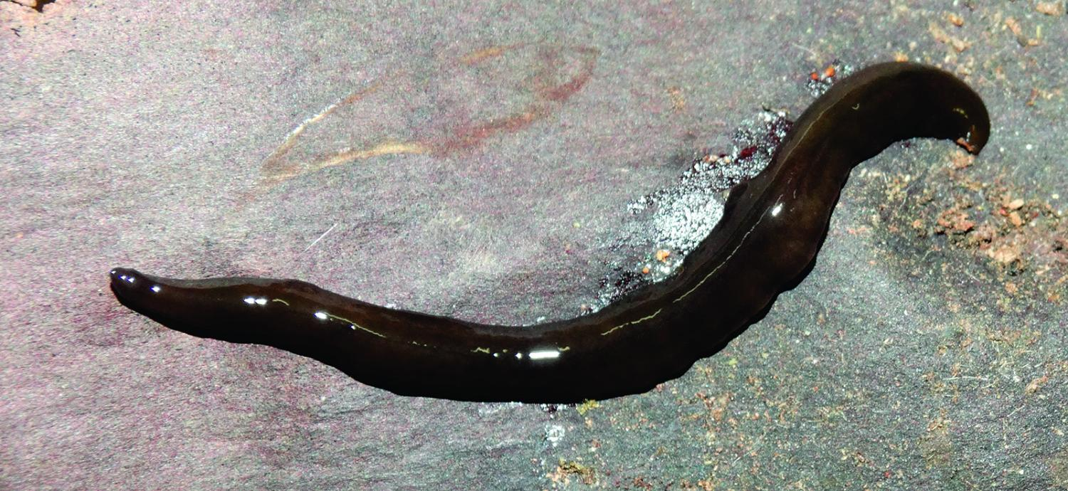 hidden diversity 3 new species of land flatworms from the brazilian