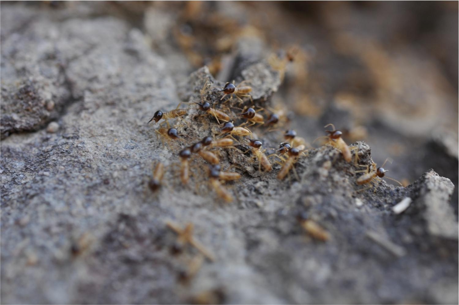 how cathedral termites got to australia to build their sky scrapers