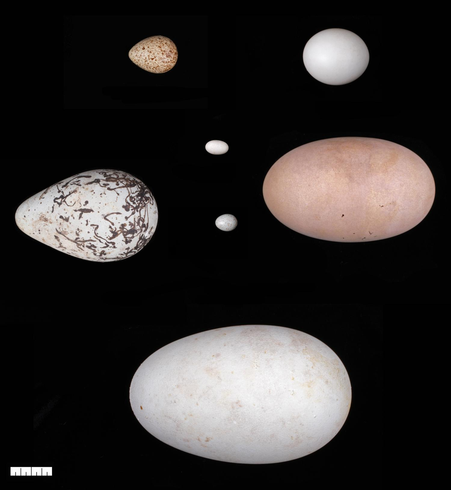 how eggs got their shapes adaptations for flight may have driven