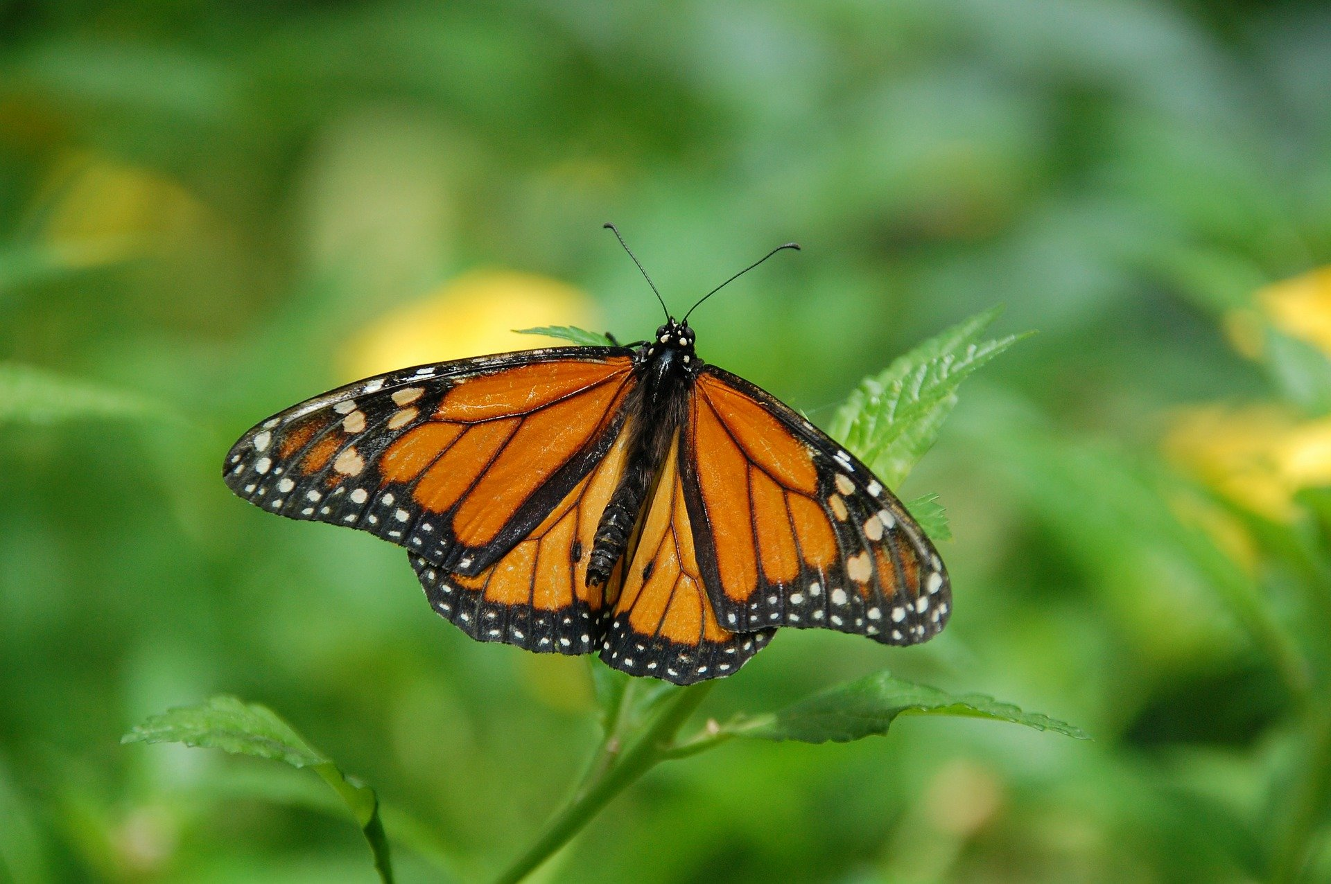 photo of App allows citizen scientists to contribute to monarch butterfly research image