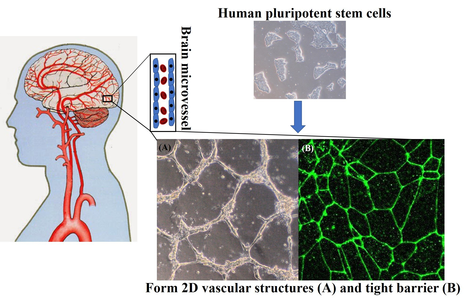 Scientists create a recipe to make human blood-brain-barrier